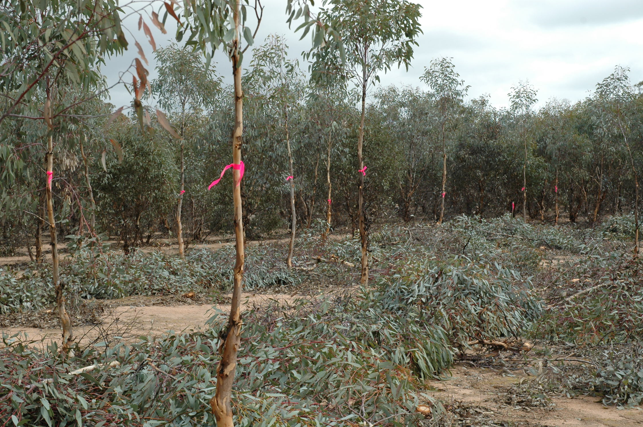 Wandoo marked for thinning