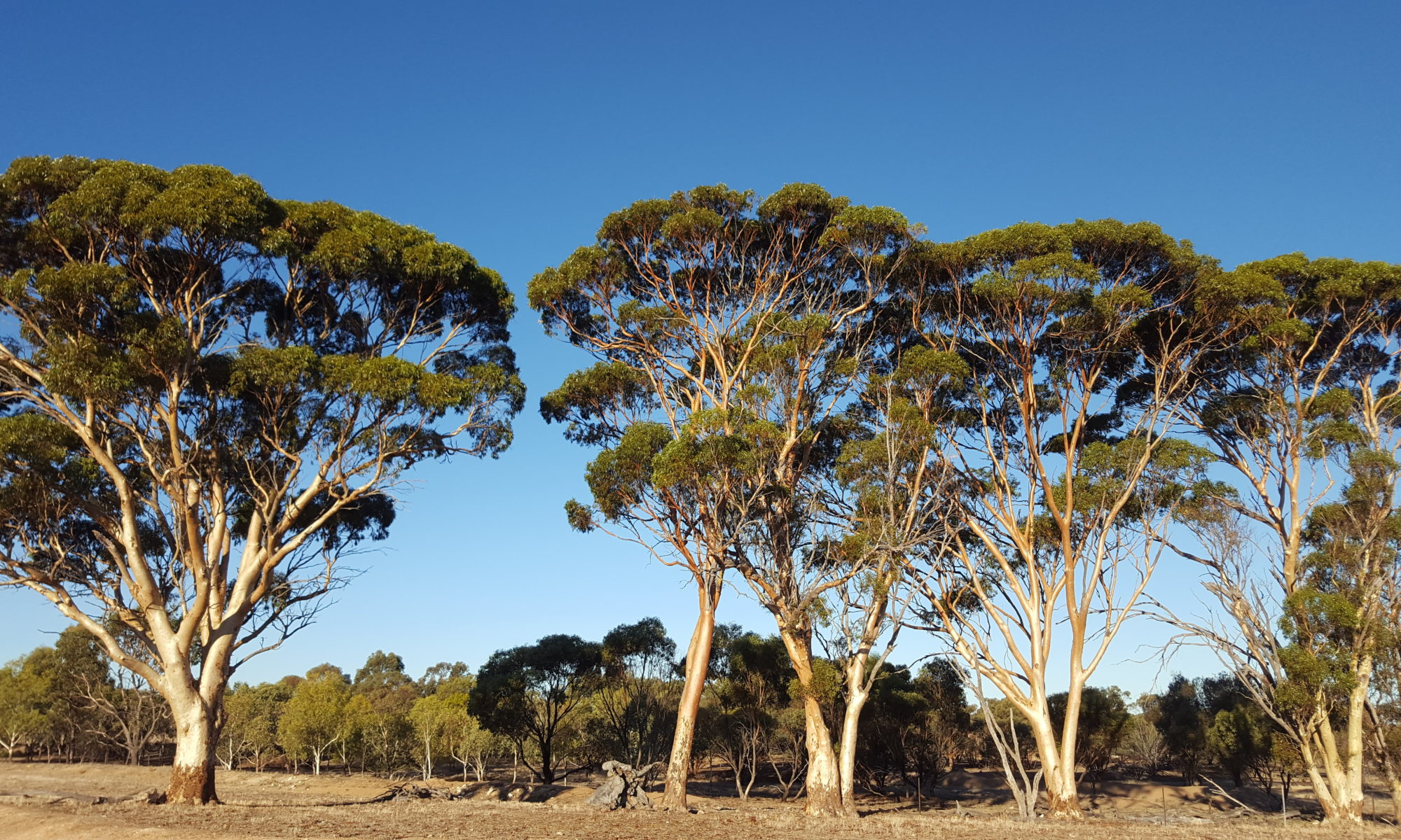 Remnant trees plus revegetation